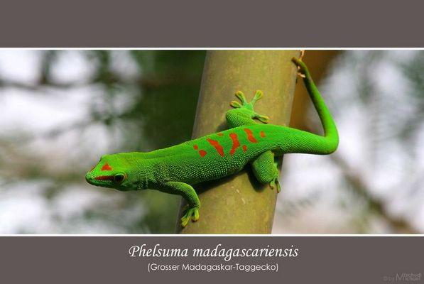 Phelsuma madagascariensis