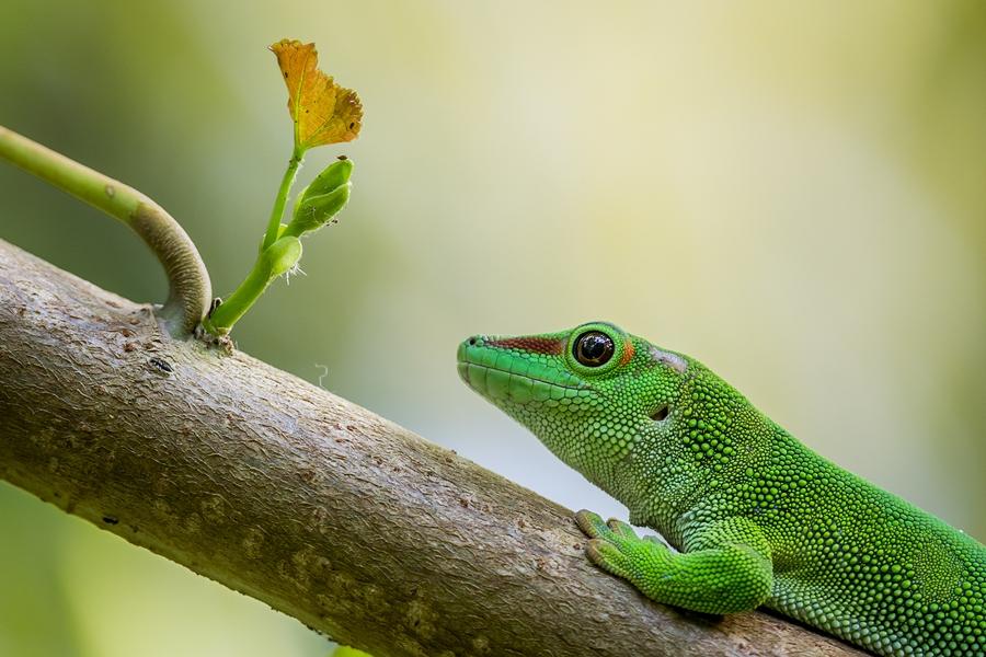 Phelsuma Madagascariensis Grandis - Grosser Madagaskar Taggecko