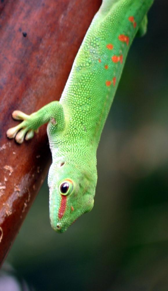 [Phelsuma_Madagascariensis]
