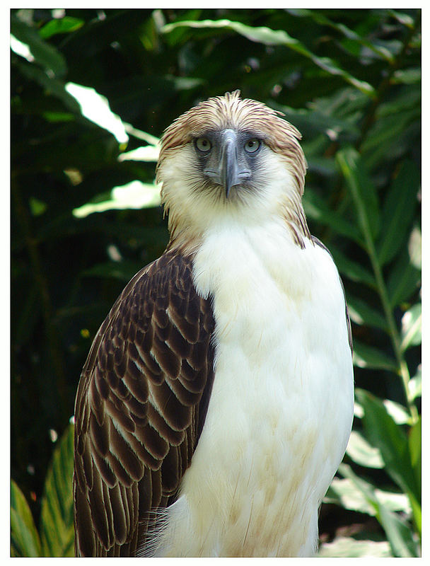 Philippine Eagle - Davao City