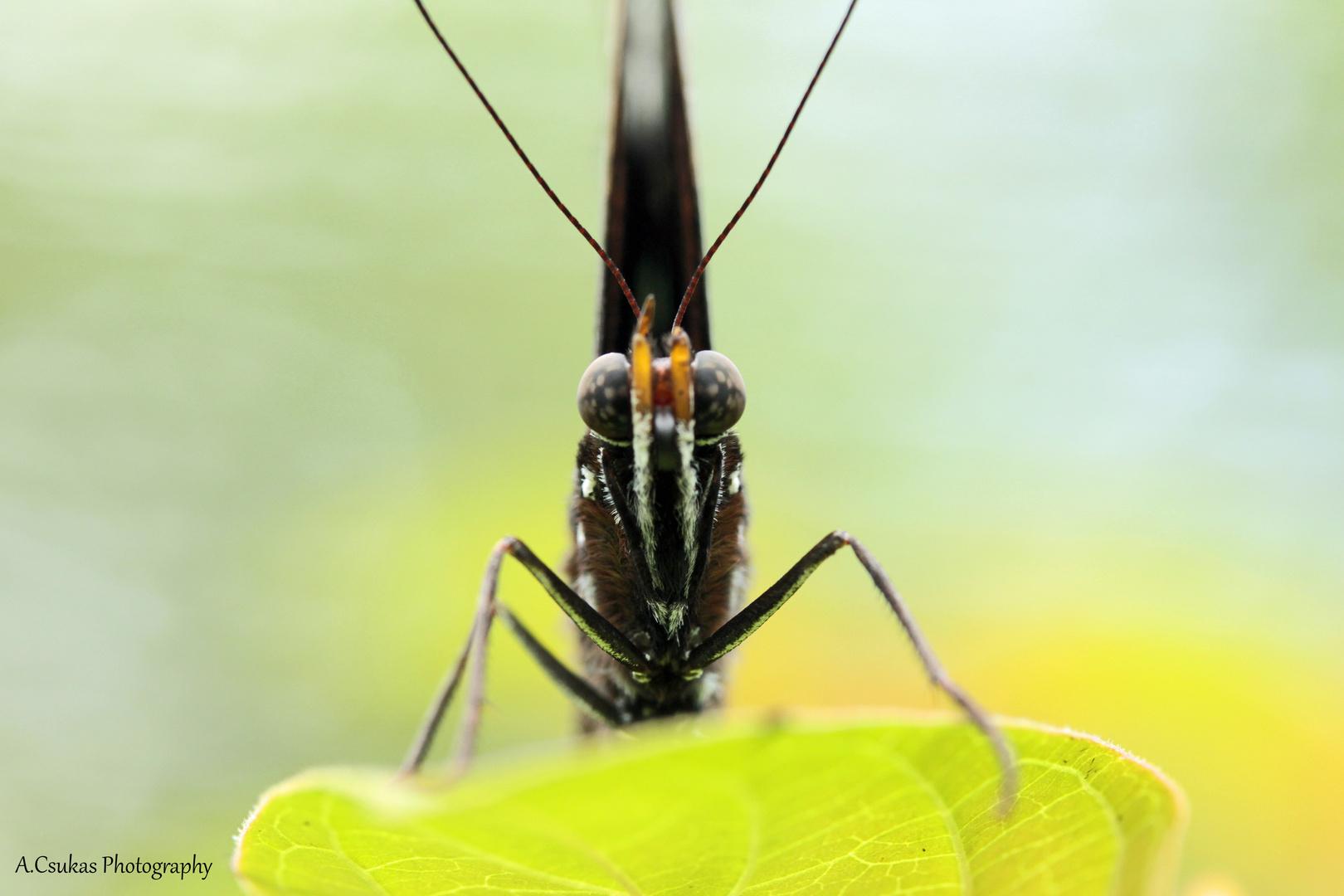 Philippinischer Schmetterling