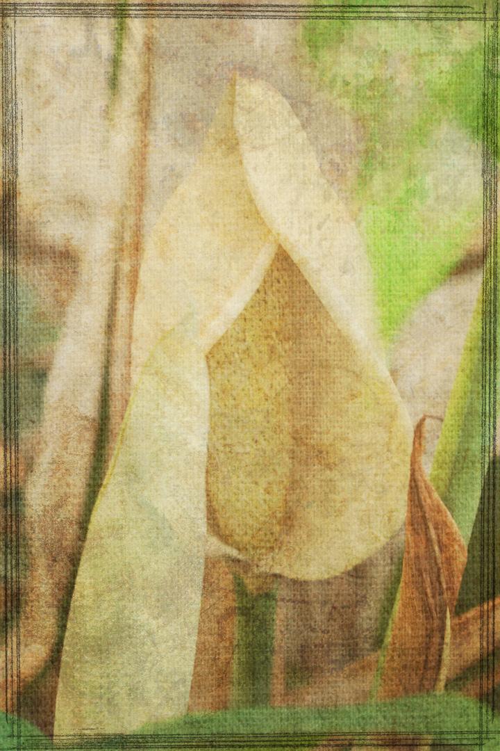 Philodendronblüte gefiltert