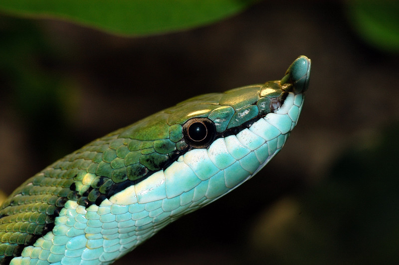 Philodrias baroni Costa Rica