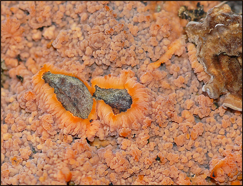 Phlebia radiata-Orangeroter Kammpilz