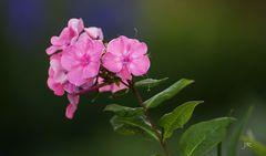 Phlox-Blüten in pink