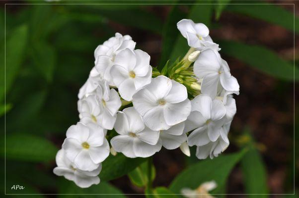 Phlox in weiß