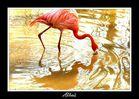 Phoenicopterus ruber