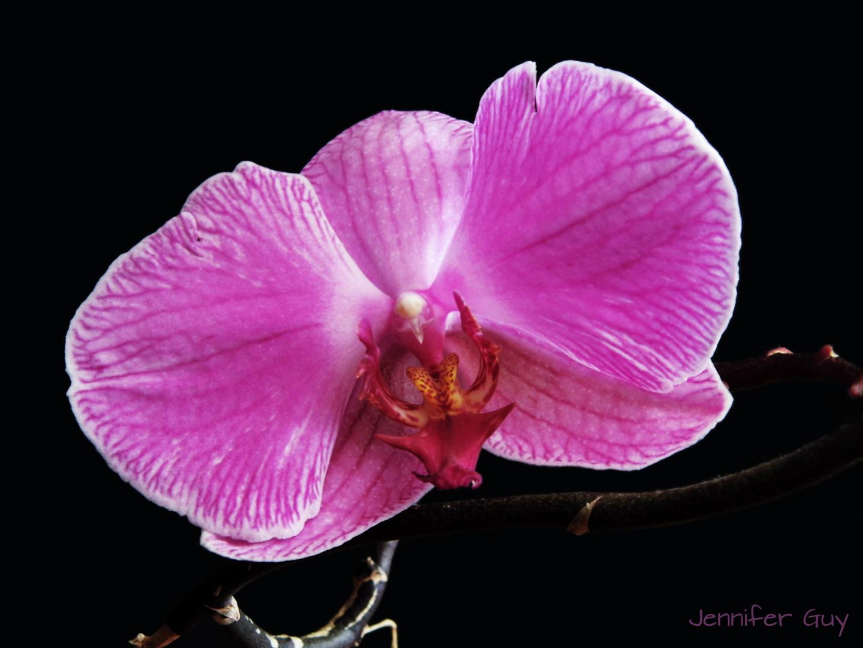 Phoenix aus der Orchidee