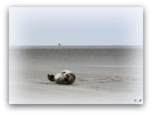 Phoques dans la baie d'Authie