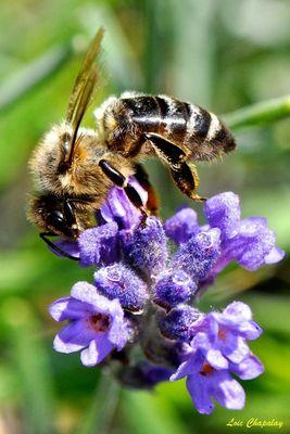 Photo d' abeille