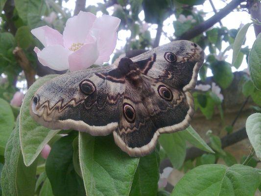 Photo of Giant Peacock Moth, Saturnia pyri.