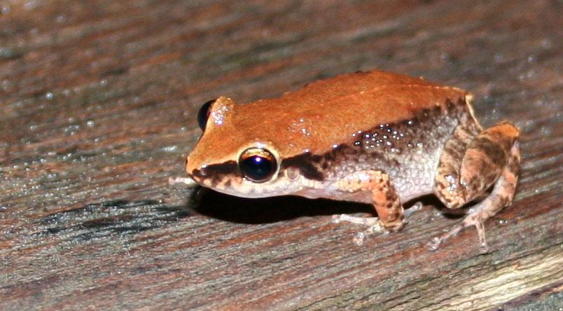 Photo prise en Guadeloupe d'une grenouille mâle