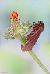 Phragmatobia fuliginosa