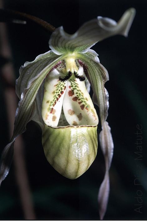 Phragmipedium Perceae