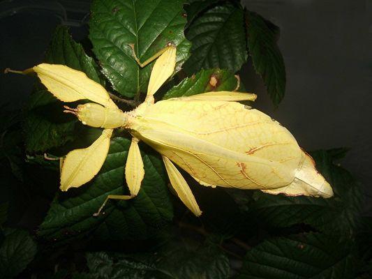 """Phyllium spec. """"Phillipinen"""", gelbe Farbmorphe"""