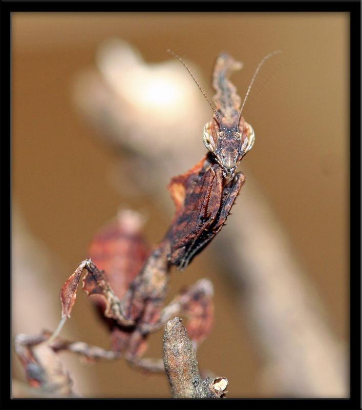 Phyllocrania Paradoxa L1 groß (2)