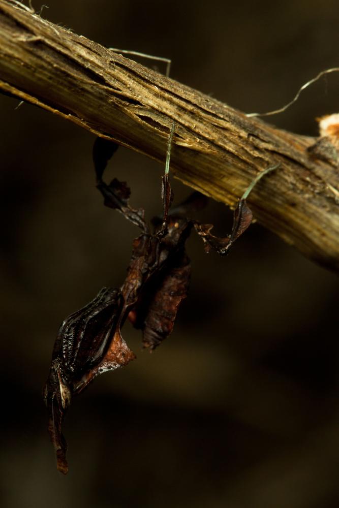 Phyllocrania paradoxa - L4