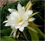 Phyllokaktusblüte