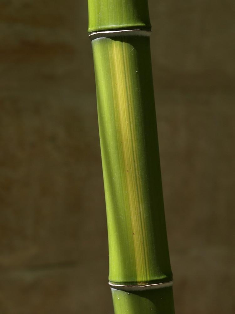Phyllostachys vivax f. huanwenzhu
