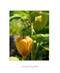 Physalis (Lampionblume)