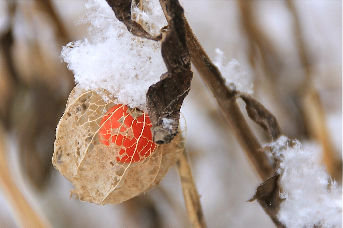 Physalis on ice