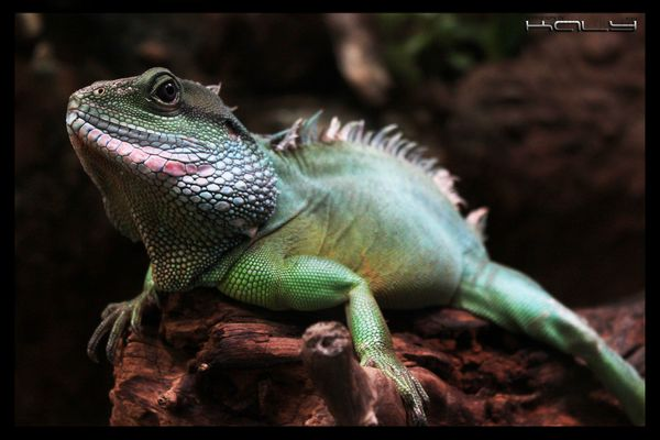 Physignathus cocincinus (Chinese Water Dragon)