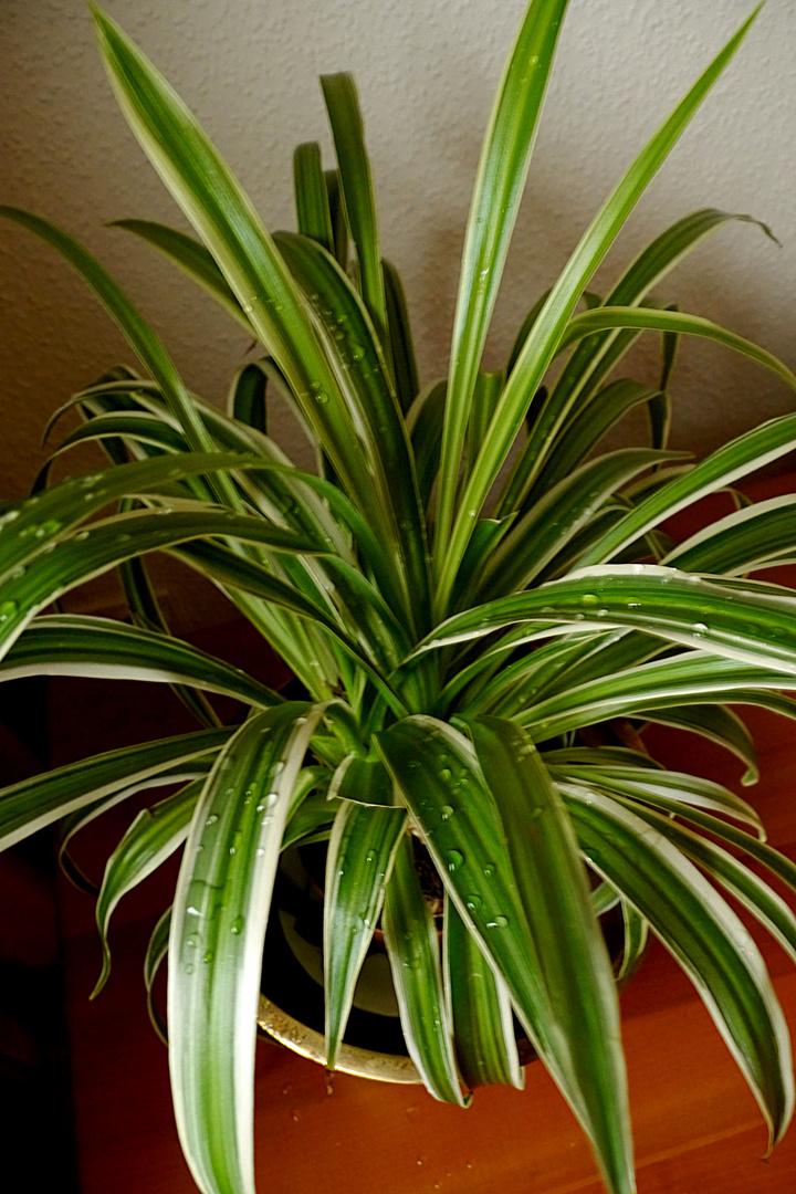 Phyton oder Grünlilie