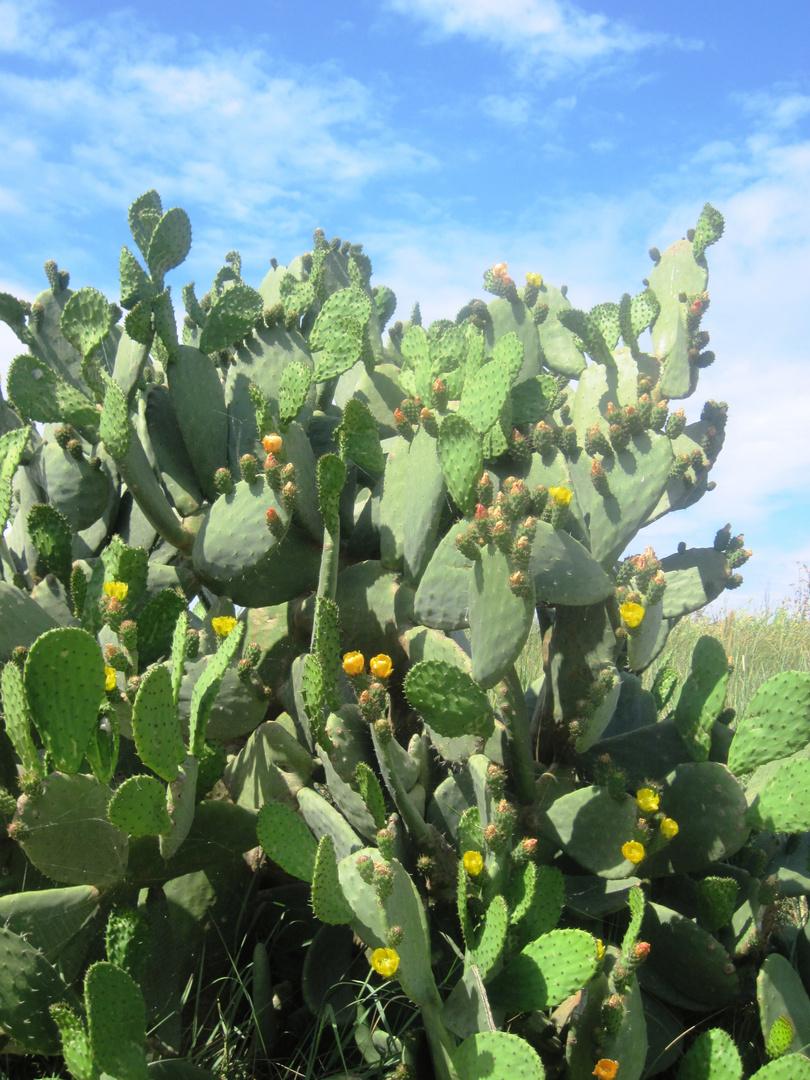Pianta di fico d 39 india foto immagini piante fiori e for Pianta di fico prezzo