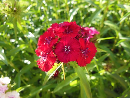 piante rosse