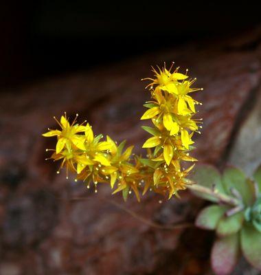 Piantina fiorita