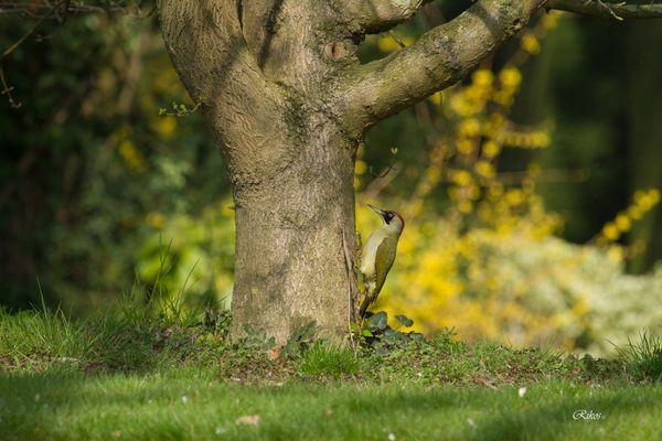 Pic vert sur son arbre
