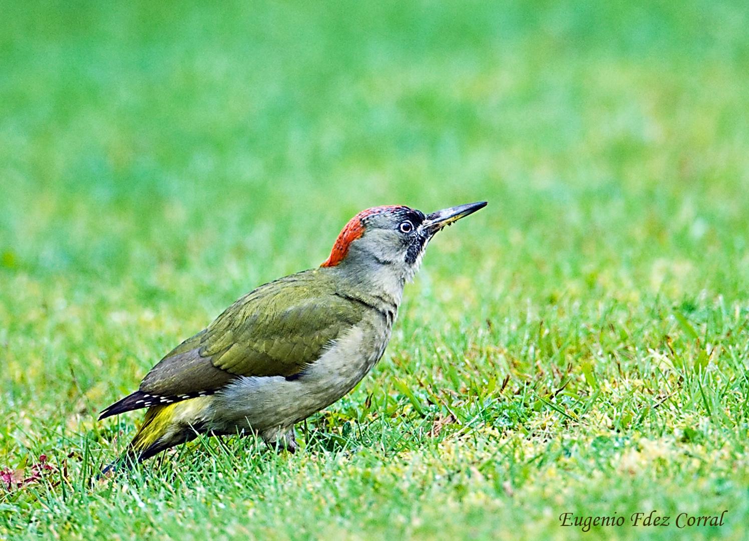 Picapinos (Pájaro Carpintero)