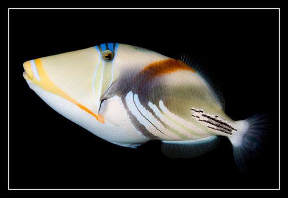 Picasso-Fisch (Südsee / franz. Polynesien)