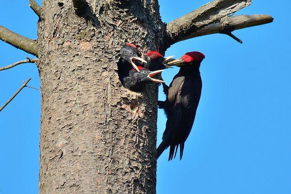 picchio nero al nido