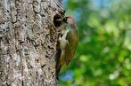 picchio verde al nido