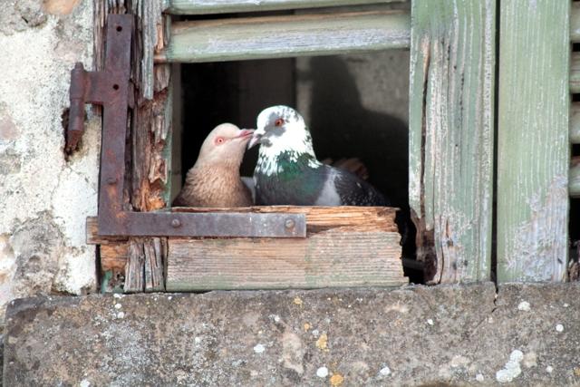 piccioni a Talamello