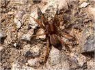 piccola ragno