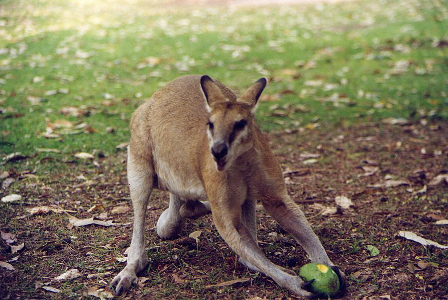 Piccolo canguro