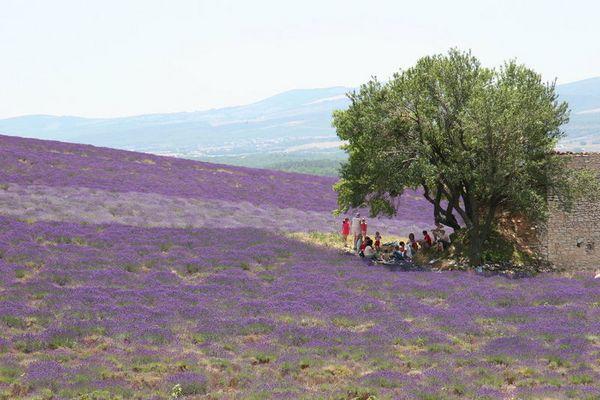 Picnic im Lavendelfeld