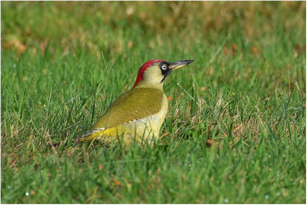 Picus viridis - Grünspecht  -   Vogel des Jahres 2014