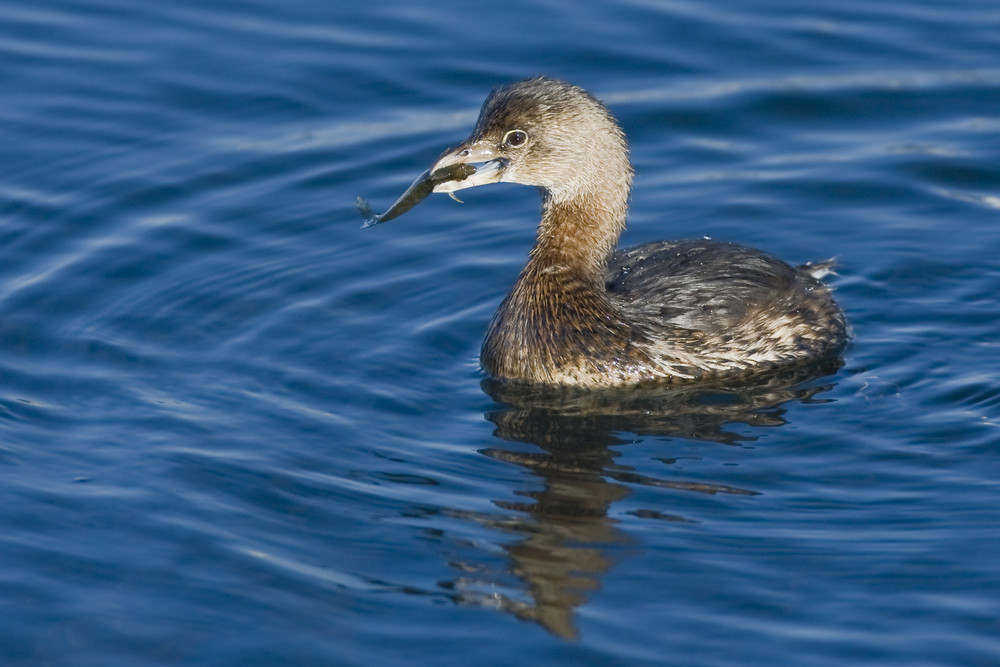 Pied-billed Grebe captures and swallows fish in Morro Bay, CA
