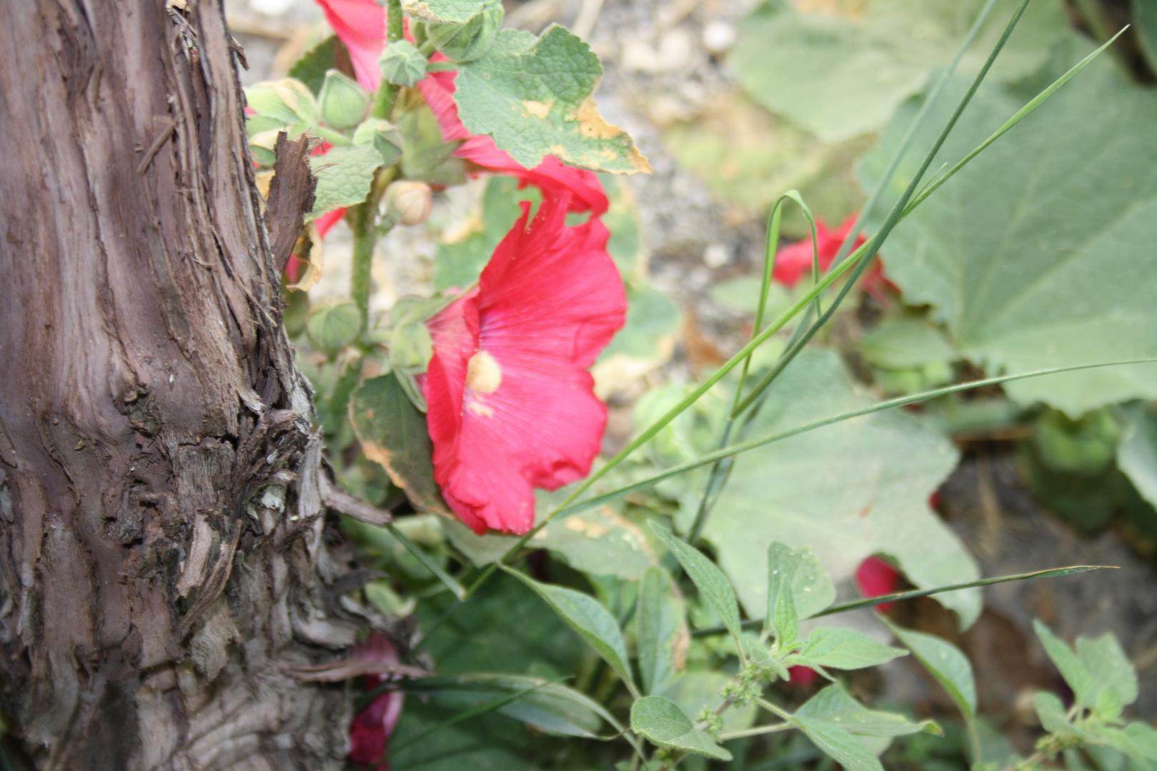 pied de vigne fleuris