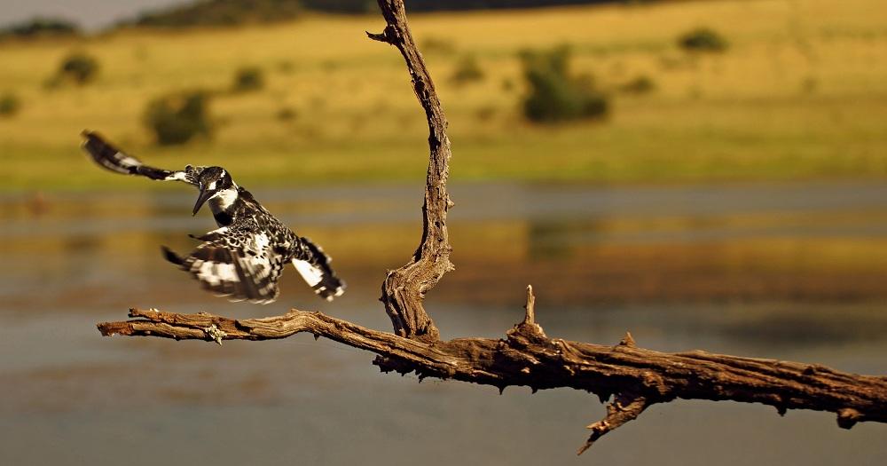 Pied Kingfisher im Landeanflug