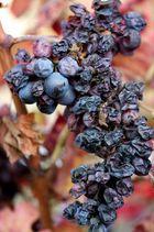 Piemont - Nebbiolo Trauben 1