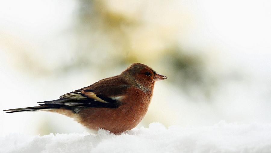 Piepmatz im Schneetreiben