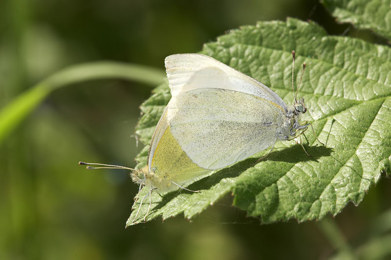 Pieris rapae, mating