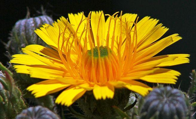 pieuvre fleur