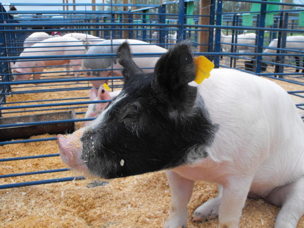 Pig at 4-H Tyrrell Livestock show