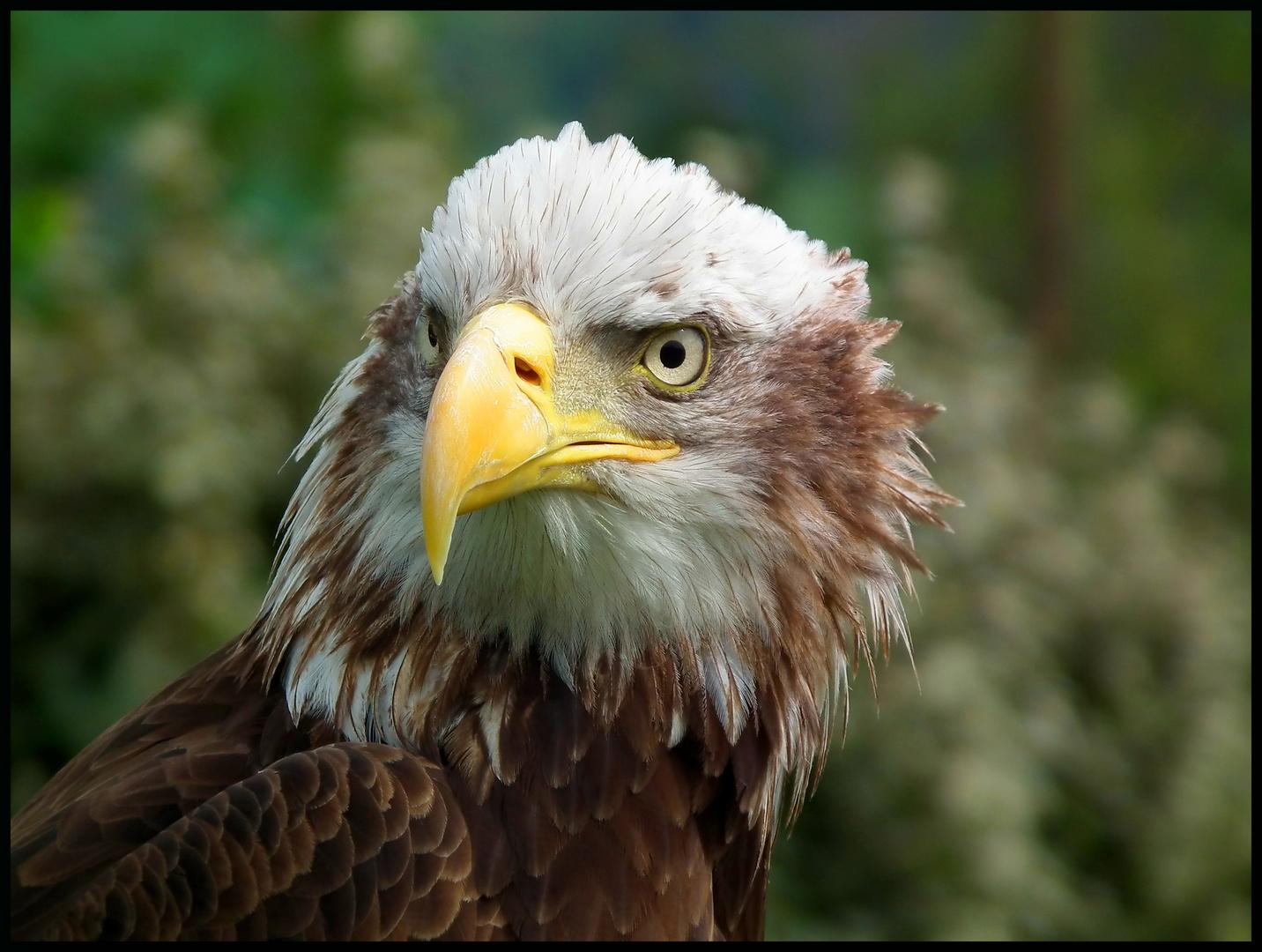 Pigargo americano(Aguila calva)