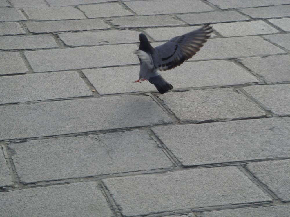 Pigeon à Paris